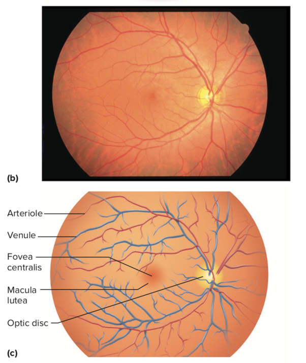 what is the exact difference between macula and fovea quora
