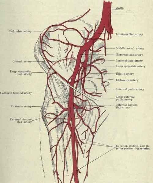 Can you bleed out from iliac artery? - Quora
