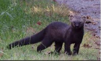 Will A Labrador Retriever Scare A Fisher Cat Away Quora