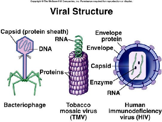 Do viruses have cell walls What is their complete