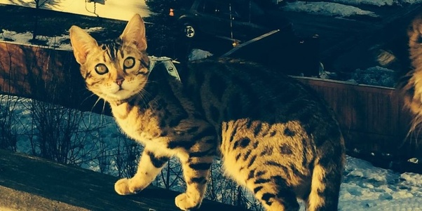 What are the difficulties of raising a Bengal cat? - Quora