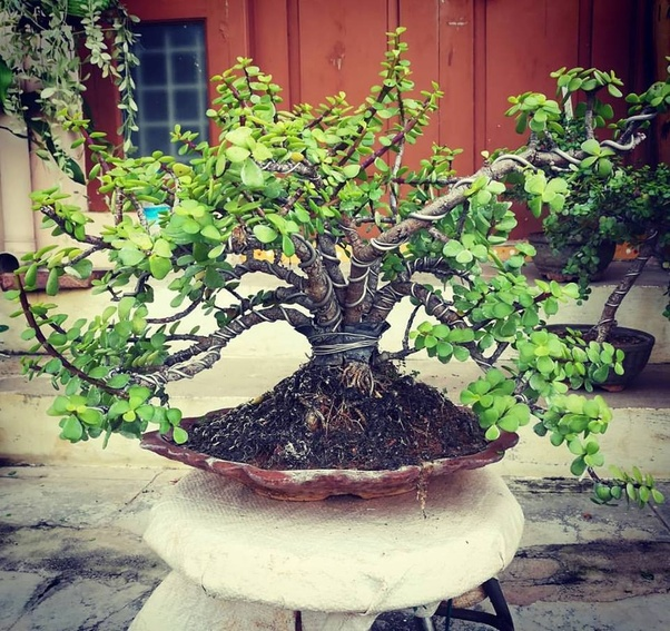 Where can I buy bonsai plants and pots in Hyderabad? - Quora