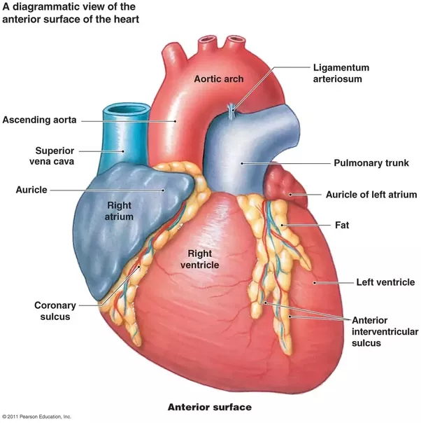 What is the function of the auricle of the heart? - Quora
