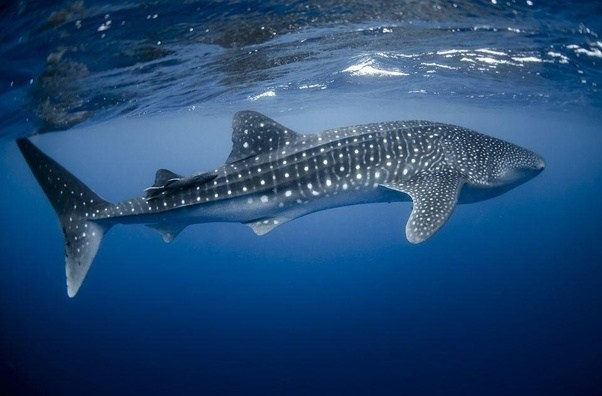 is a whale or shark capable of killing a leopard or tiger quora
