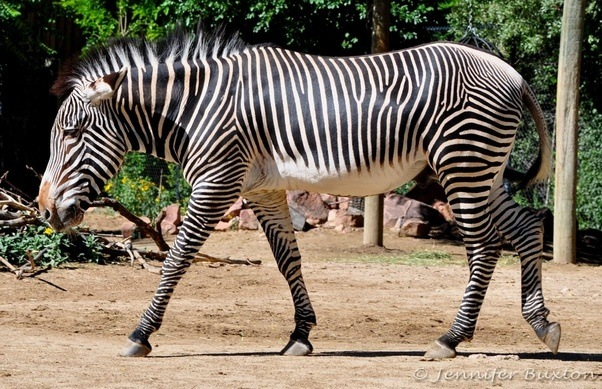 difference between zebra and horse difference between - 602×389