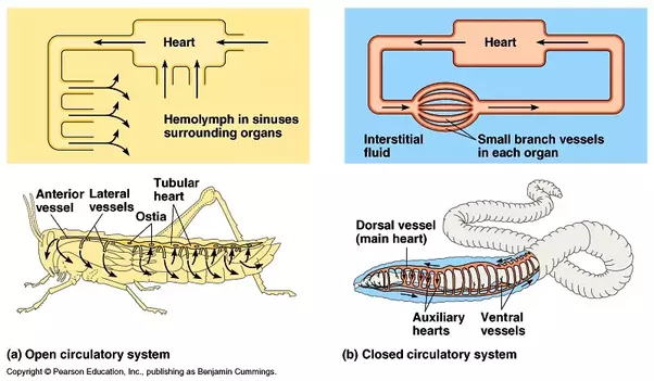 What Is The Circulatory System Of An Insect Quora