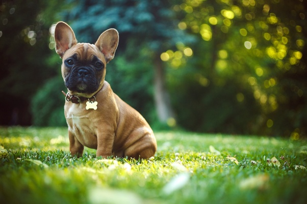 How much does a Bulldog puppy cost? - Quora