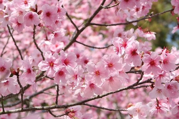 Most Beautiful Flower Trees