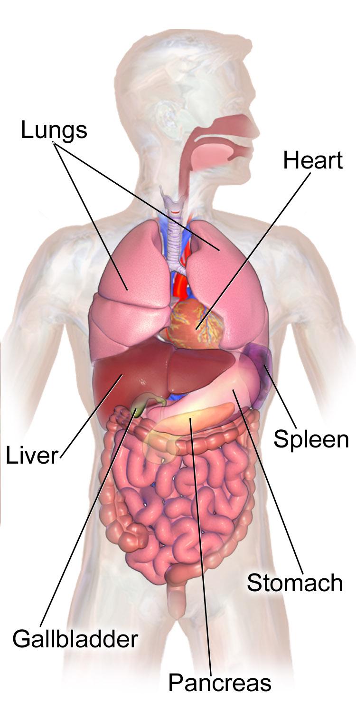 Liver Body Diagram Wiring Diagram All Data