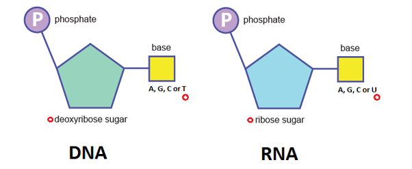 What are the three components of a single nucleotide quora j ccuart Images
