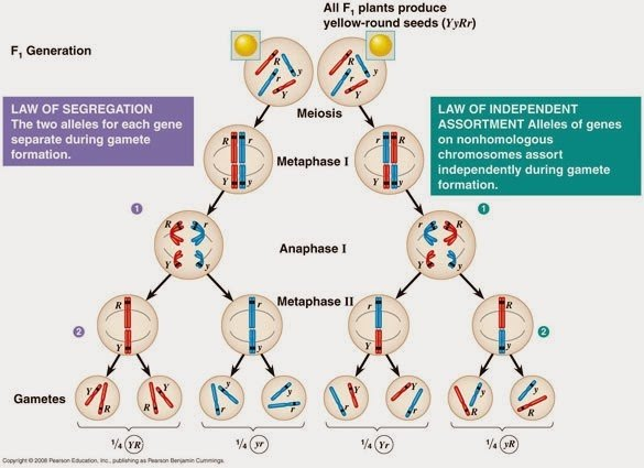 How do mendels laws relate to meiosis quora each pair of homologous chromosomes is segregated independently of other pairs of homologous chromosomes during meiosis i leading to probable outcome ccuart Choice Image