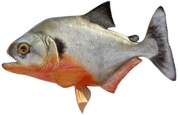 Is piranha Kosher? - Quora