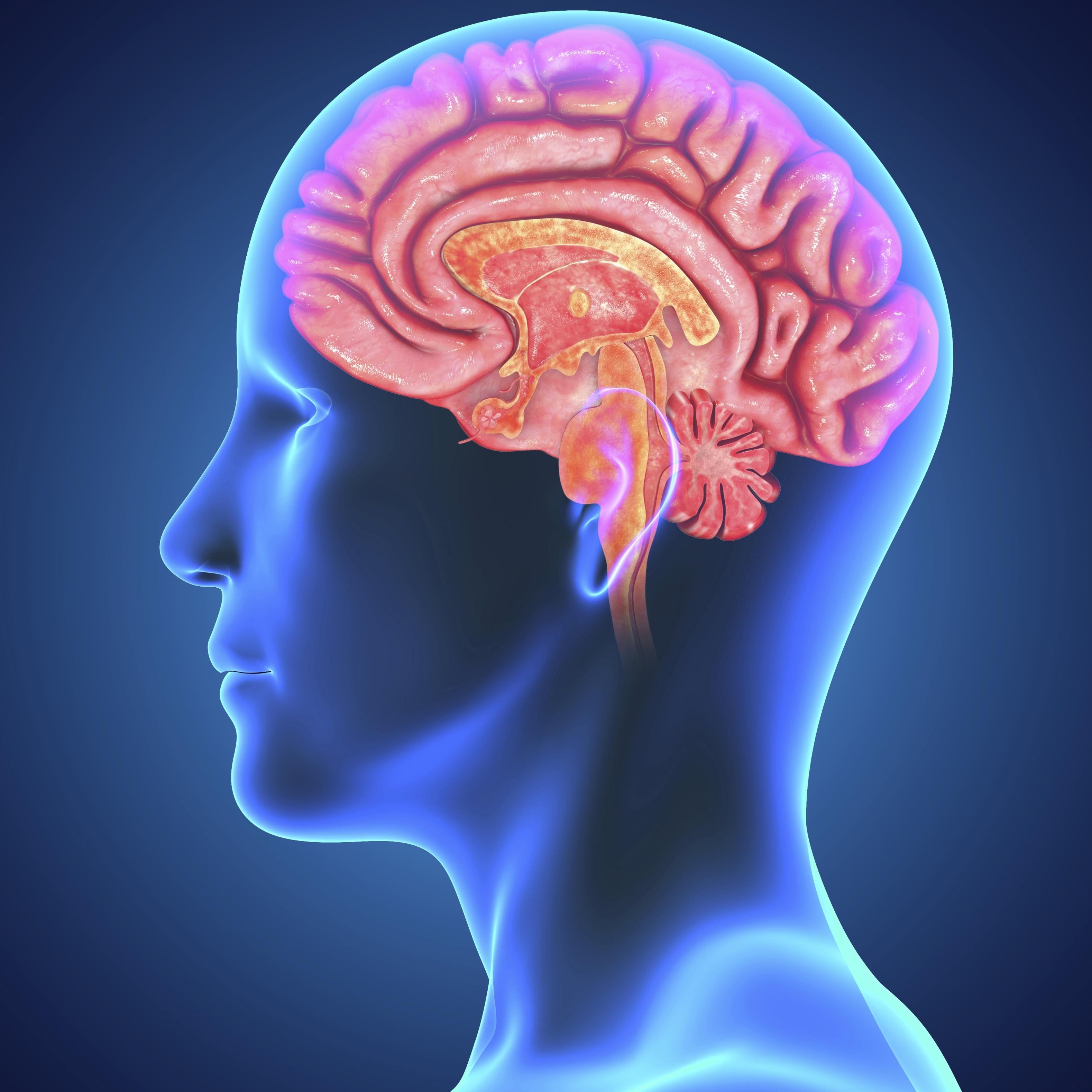 Image result for मानव मस्तिष्क