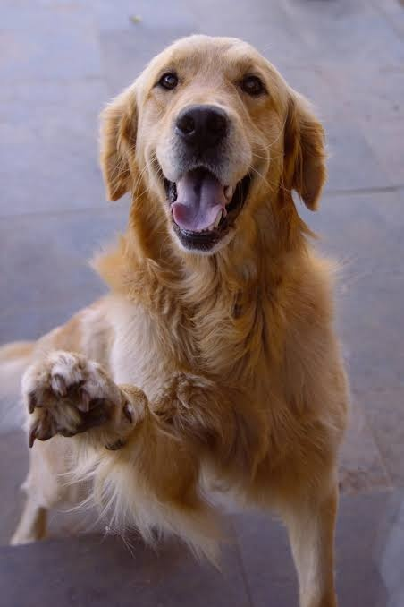What are the pros and cons of having a golden retriever as a
