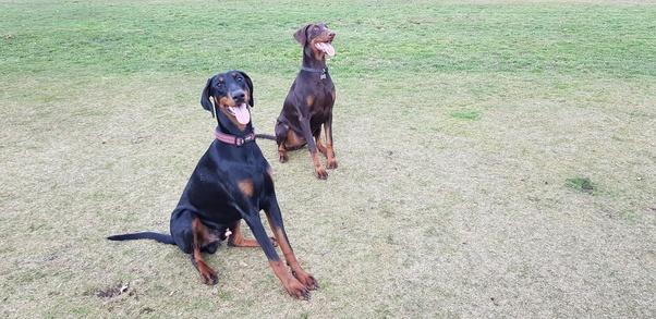 Is the Doberman a dangerous breed? - Quora