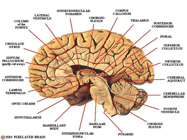 What Is The Function And Location Of The Thalamus Quora