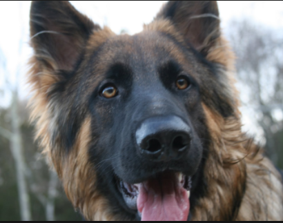 Should I Buy A German Shepherd Puppy Or A Labrador Puppy Quora