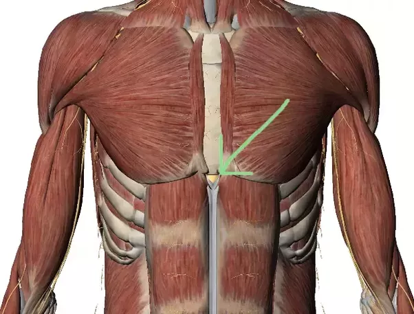 Xiphoid process anatomy
