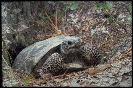 Gopher Tortoises Popular questions and their answers from an authority in Titusville Florida