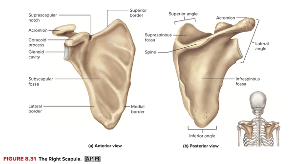 Why is there a painful square-shaped bone sticking out on my ...