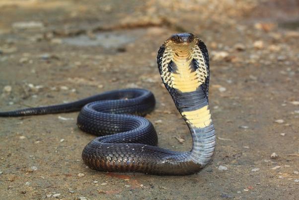 snake pierde în greutate