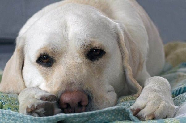 Which Is The Better Breed Labrador Or Golden Retriever Quora