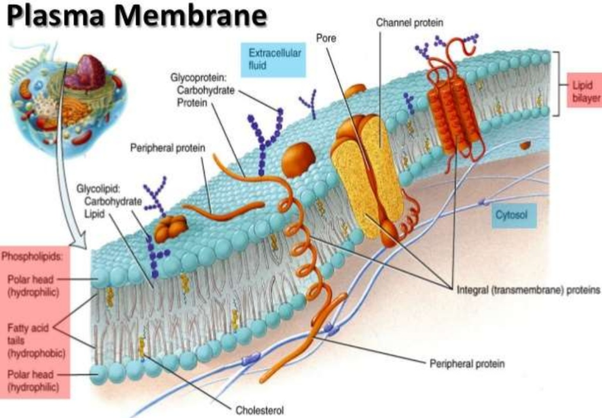 How Are Phospholipids Different From Ordinary Lipids Quora