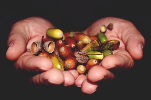 Are Acorns Poisonous To Humans Quora