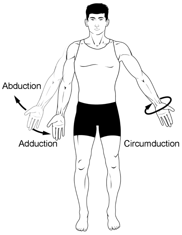 What Are Adductors And Abductors Quora
