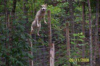 Can Wolves Climb Trees Quora
