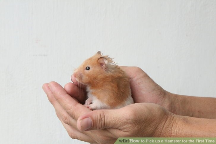 What is something that every new hamster owner should know? - Quora