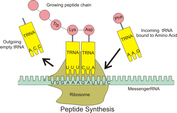 The role of trna in protein synthesis