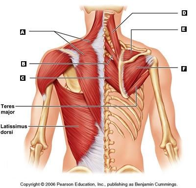 How do weak lower traps contribute to poor posture/forward ...