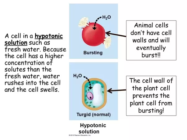 This Figure Shows Three Scenarios Relating To Red Blood Cell Membranes In A H