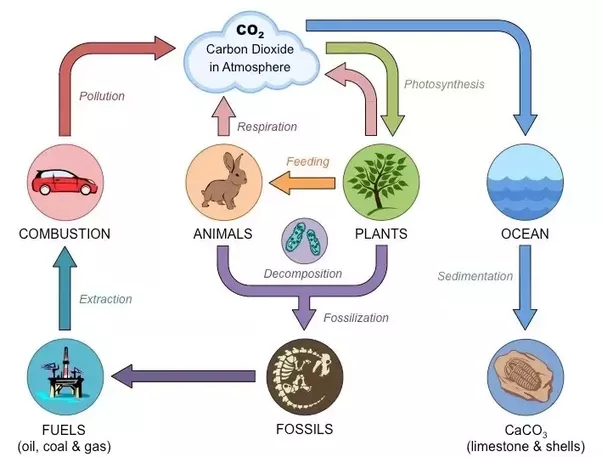 Animals carbon cycle diagram diy wiring diagrams how is the carbon cycle photosynthesis and cellular respiration all rh quora com carbon cycle flow chart carbon oxygen cycle ccuart Choice Image