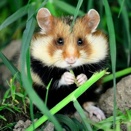 Do hamsters live in the wild? - Quora