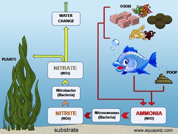 Why do i have too many nitrites in my goldfish aquarium for High nitrite in fish tank