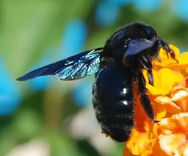 Black Bumble Bee >> Does A Completely Black Bumblebee But With Yellow Hind Legs Exist