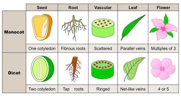 What are some examples of dicot plants? - Quora 10 Examples Of Monocot Plants