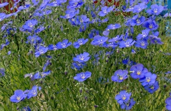 Which tree requires low maintenance and can be grown in bangalores this is a short lived perennial with each plant producing a small blue flower for one day blue flax grows well in most regions preferring to be planted in mightylinksfo