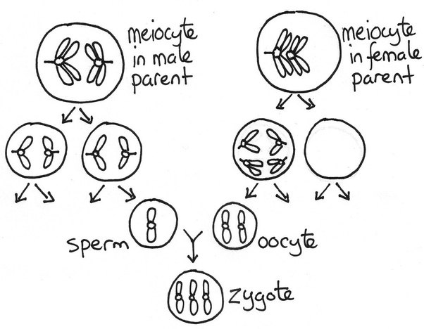If Haploid Cells Are Obtained At Meiosis  Then Why Does