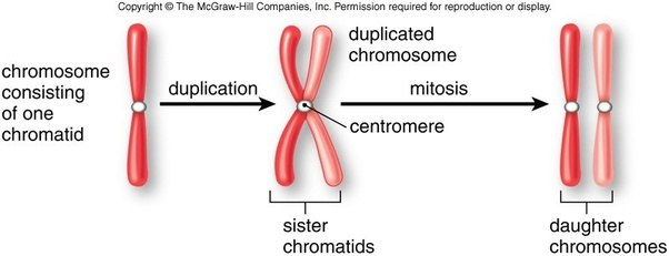 What Is The Difference Between A Chromosome And Chromatid Quora