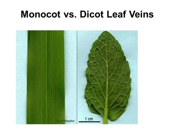 What Are Some Examples Of Monocot And Dicot Leaves And How Are They