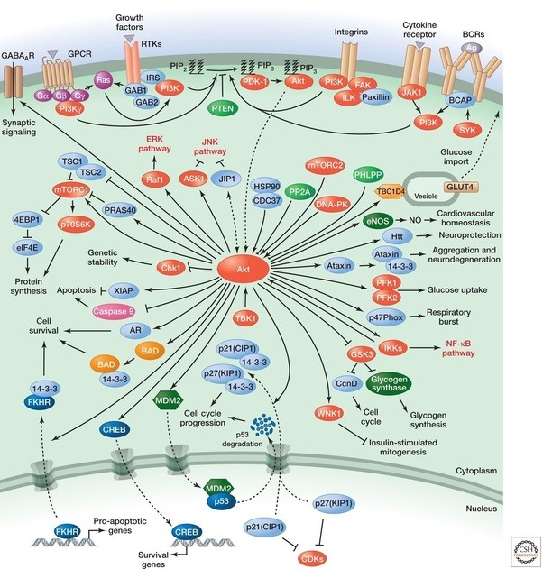 What are the most important cell signaling pathways to learn about center of a lot of things and has earned its place in the canon of important human cell signaling pathways even though its much more bottom heavy in ccuart Image collections