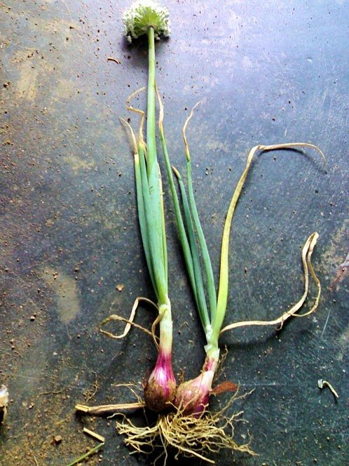 Do Onion Plants Have Flowers
