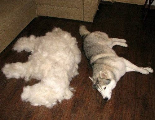 Best Dog Brush For Samoyed