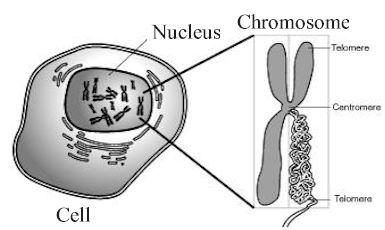 Chapter 2 Mitosis and Meiosis |Chromosomes In Animal Cell