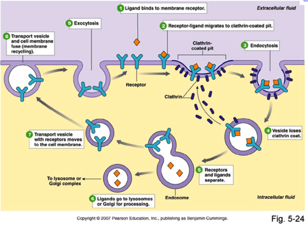 How are lysosomes made in animal cells quora an organelle inside the cell it is believed that lysosomes which participate in processes including and similar to endocytosis are formed through a ccuart Image collections