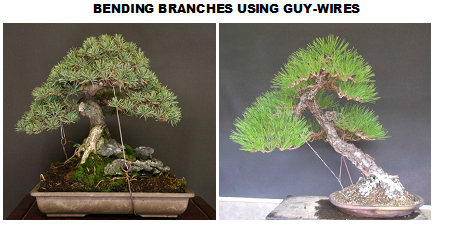 What Is Guy Wire And How Is It Used In The Art Of Bonsai Quora