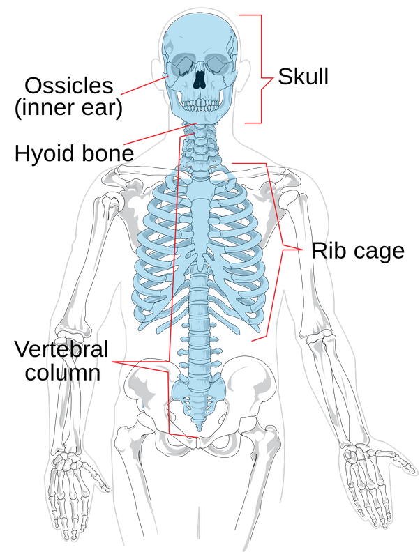 What Are Two Main Parts Of The Skeleton What Are Their Functions